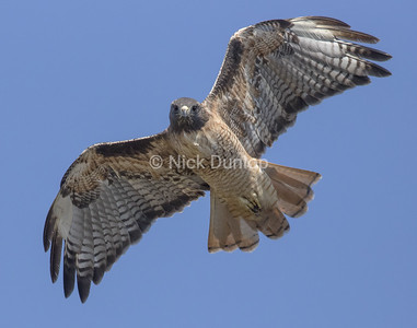 Adult Red Tail Hawk 2