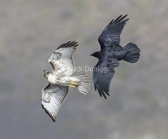 Red Tail and Raven Horseplay