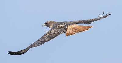 Adult Red Tail Hawk 4