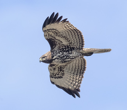 Immature Red Tail Hawk 10