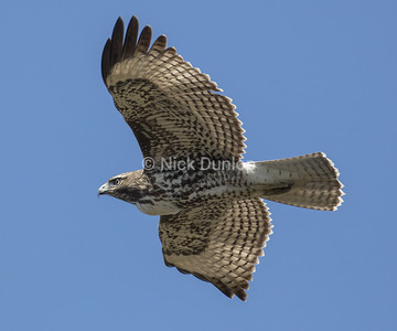Immature Red Tail Hawk 5