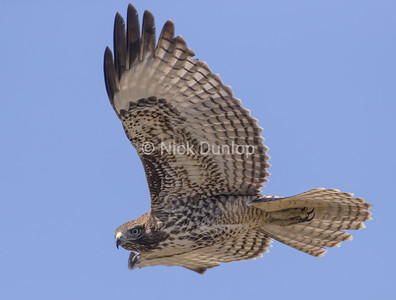 Immature Red Tail Hawk 6
