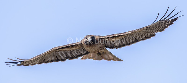 Adult Red Tail Hawk 7