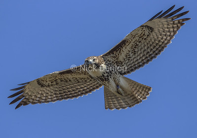 Immature Red Tail Hawk 12