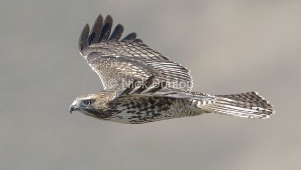 Immature Red Tail Hawk 3