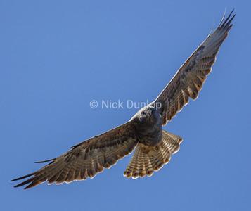 Dark Phase Immature Red Tail Hawk