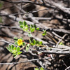 FALSE MONKEYFLOWER