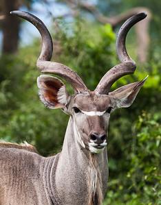 Kudu Countenance