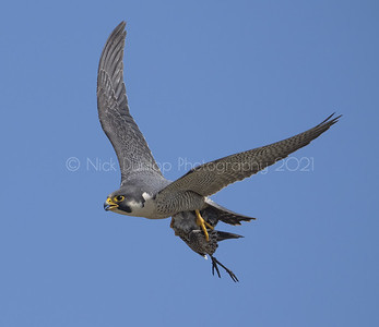 Female Peregrine Falcon with marbled godwit or whimbrel.