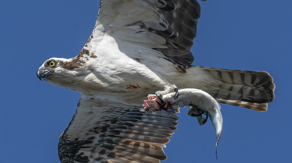 Osprey with fish 2
