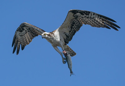 Osprey with fish 1