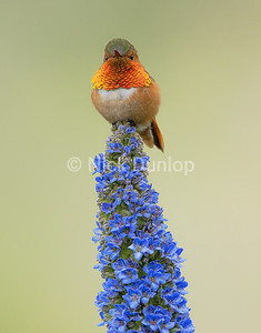 Rufous Hummingbird on my Pride of Madeira Plant