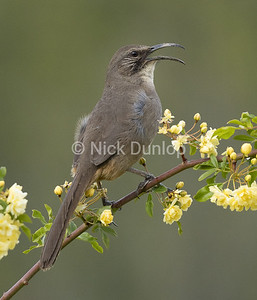 Singing California Thrasher