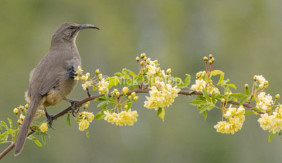 California Thrasher on my roses 1