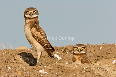 Burrowing Owl Twins 1
