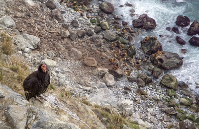 Condor and seal colony