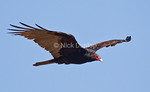 Turkey Vulture Adult<br /> Marin Headlands