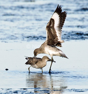 Willet Fight