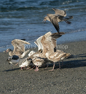 Crab and Gull Scrum 1