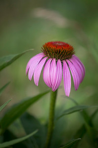 Coneflower 1:  Indiana
