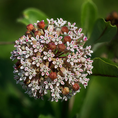 Milkweed in Bloom:  Indiana
