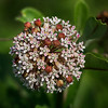 Milkweed in Bloom