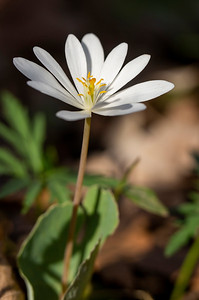 Bloodroot: Indiana