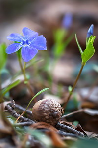 Vinca minor with Acorn:  Indiana