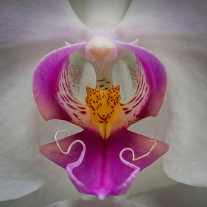 An Indonesian orchid (notice the tiger inside the flower).  Photographed at the Frederik Meijer Botanical Gardens in Grand Rapids, Michigan.