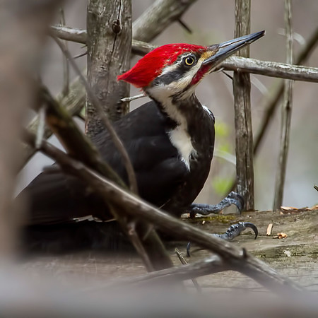 Pileated Woodpecker 1:  Indianapolis