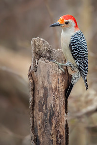 Red-bellied Woodpecker (Painterly):  Indianapolis, Indiana