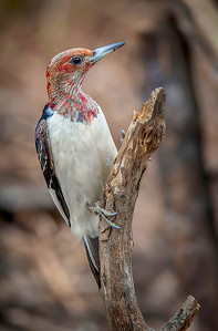 Juvenile Red-headed Woodpecker:  Indianapolis, Indiana