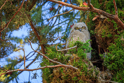 Great Horned Owlet, Drake Park, Bend, OR