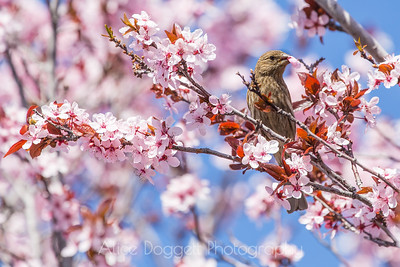 House Finch Eating Cherry Blossoms, Bend, OR