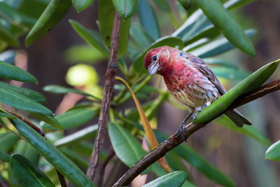 House Finch In Rhododendron