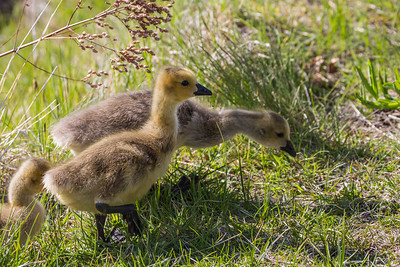 Baby Goslings, Bend, OR