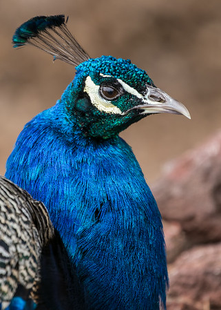 Peacock Close-Up, Petersen Rock Gardens, Central Oregon