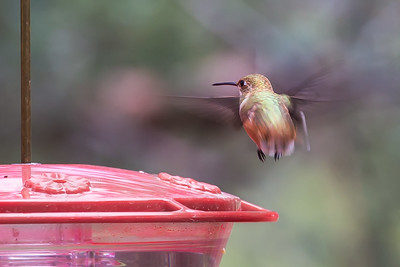 Rufus Hummingbird In Flight