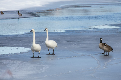 Swans and Geese On The Ice, Deschutes River, Bend, OR