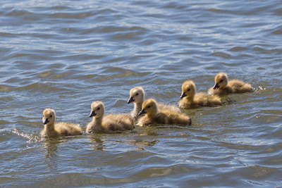 Baby Goslings In Formation, Deschutes River, Bend, OR