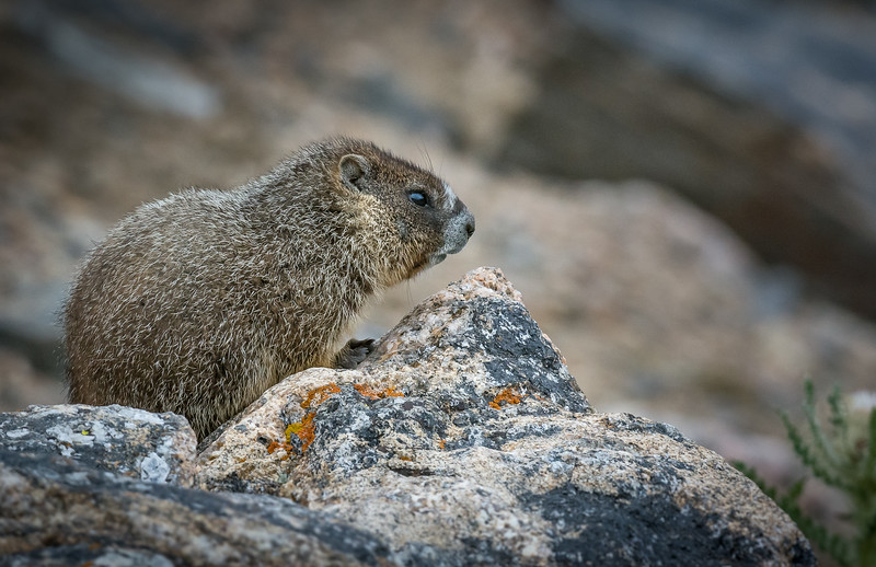 Marmot on Watch