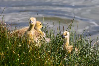 Baby Goslings In The Grass, Deschutes River, Bend, OR