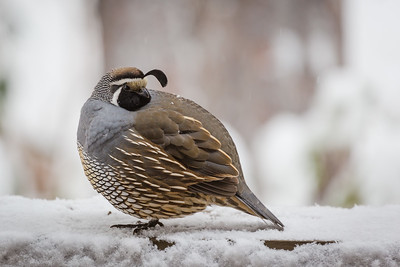 Quail In Snow, Bend, OR