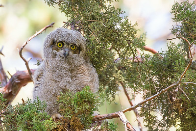 Great Horned Owlet, Drake Park, Bend, OR (horizontal view)