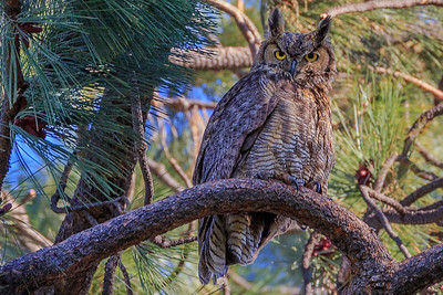 Great Horned Owl, Drake Park, Bend, OR