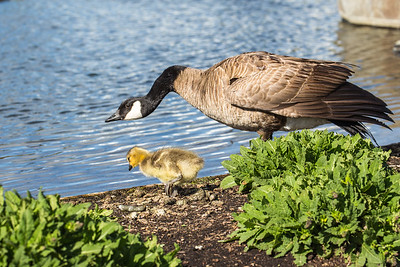 Baby Gosling With Mom