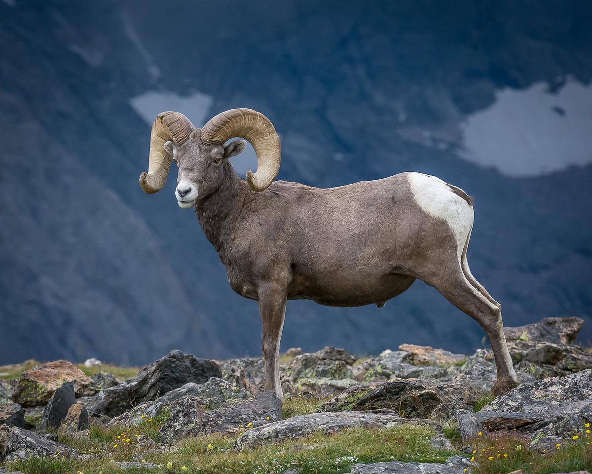 Bighorn Posing