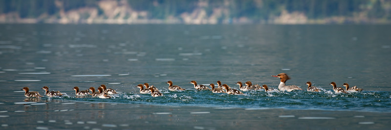 Merganser Army