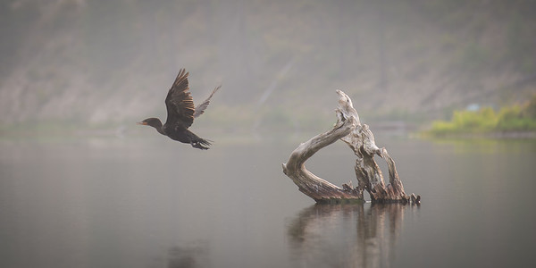 Cormorant in the Mist