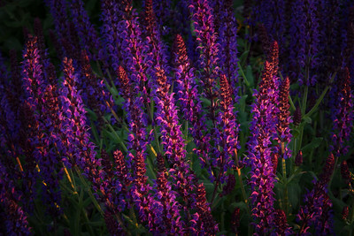 This salvia is alit by the last vestiges of warm sunshine just before sunset.
